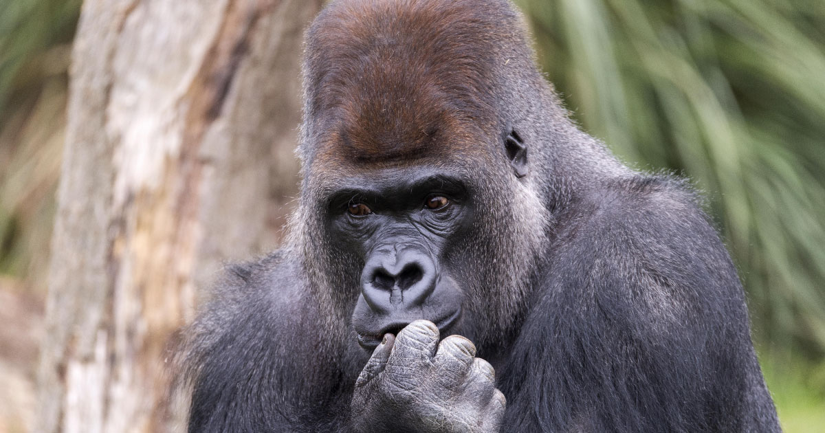 A gorilla in deep thought. This is meant to indicate that Pettey, on his good days, might be as smart as a very thoughtful gorilla.